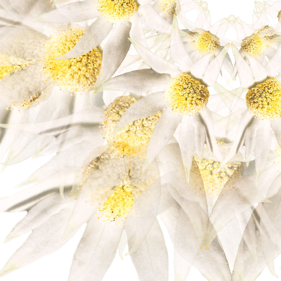 White Flannel Flower | Paper and Flower | Floral Art Print