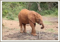 Sponsored Elephant (Baby Rapa)