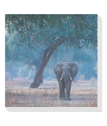 Elephant & Tree Square Canvas
