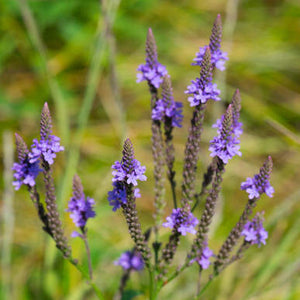 Herbs of the Enneagram Type 1: Blue Vervain