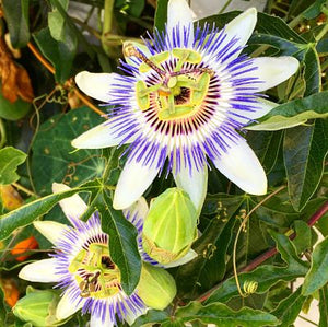 Rambling Passionflower Vines