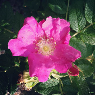 Herbs of the Enneagram Type 4: Rose