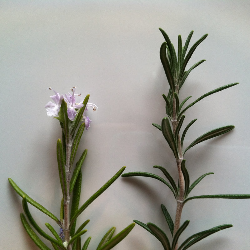 Herbs of the Enneagram Type 5: Rosemary