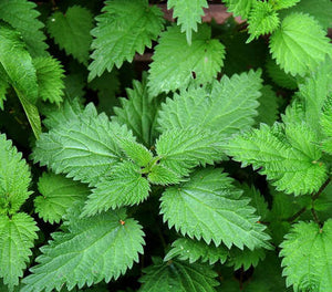 Herbs of the Enneagram Type 8: Nettle