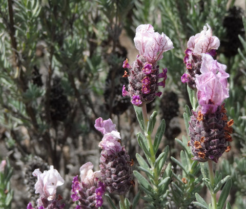 Spanish Lavender, photo credit B. Rubrecht