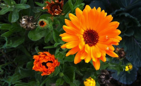 Herbs of the Enneagram Calendula