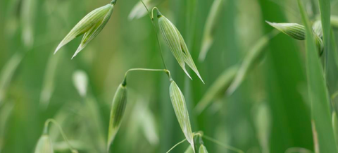 Avena Sativa Herb Pearce