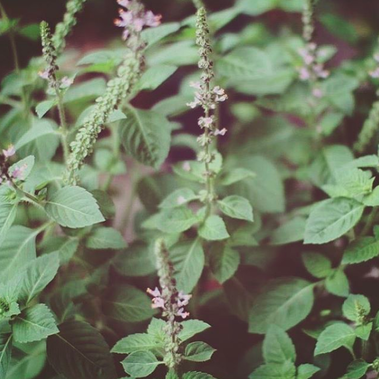 Herbs of the Enneagram tulsi