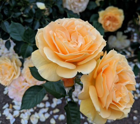 Yellow garden roses, photo credit B. Rubrecht