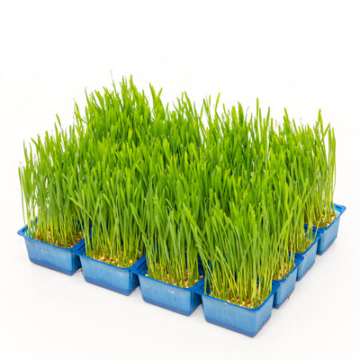 Cress wheat grass 0.5 kg box - Sharbatly.Club