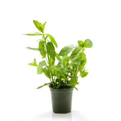 Mint, plant in a pot, peppermint, single piece - Sharbatly.Club
