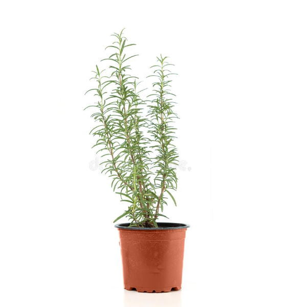 Rosemary, Plant in a Pot, single piece - Sharbatly.Club