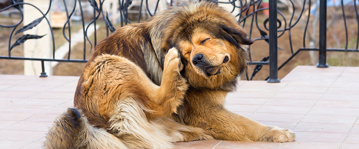 Common Skin Allergies in Dogs