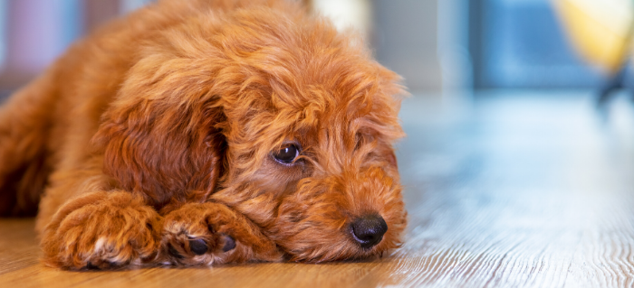 Leaky Gut Syndrome in Dogs