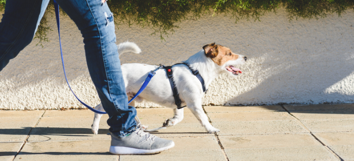 Handling the Heat: Tips for Walking Your Dog this Summer