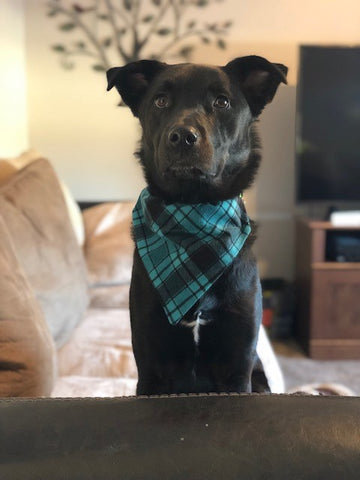 Dog Bandana - Scarf - Teal Plaid Flannel - Slides through the Collar - Pet Scarf - Dog Gift