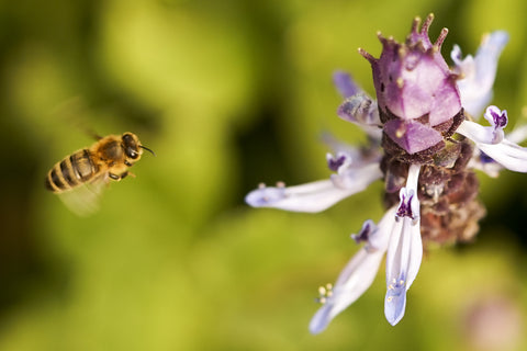 Honey Bee and Plectranthus Caninus