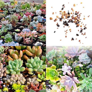 100 Seeds of Rare Mixed Succulents