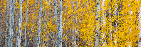 custom printed yoga mat of aspen trees in Fall