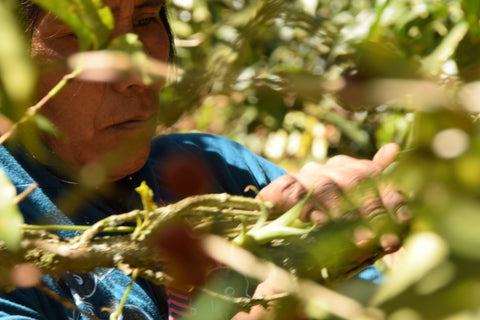 Image of an older woman picking coffee cherries.