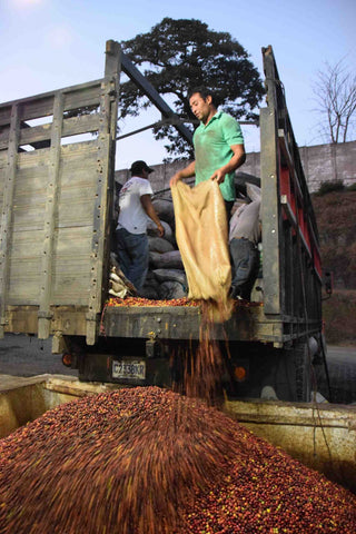 Image of a man emptying coffee cherries from a sack onto a large pile of cherries.