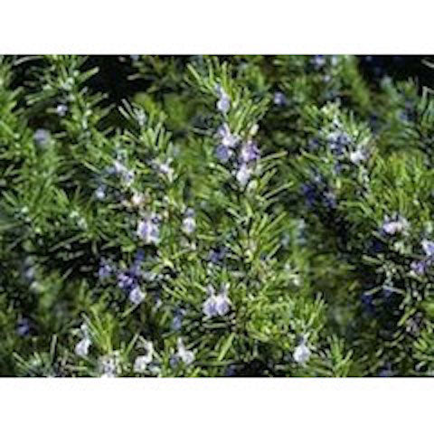 5 Amazing New Uses for Rosemary!