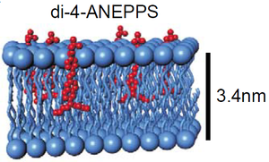 Membrane binding of electrochromic voltage-sensitive dye Di-4-ANEPPS