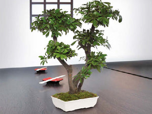 Bonsai Tobira