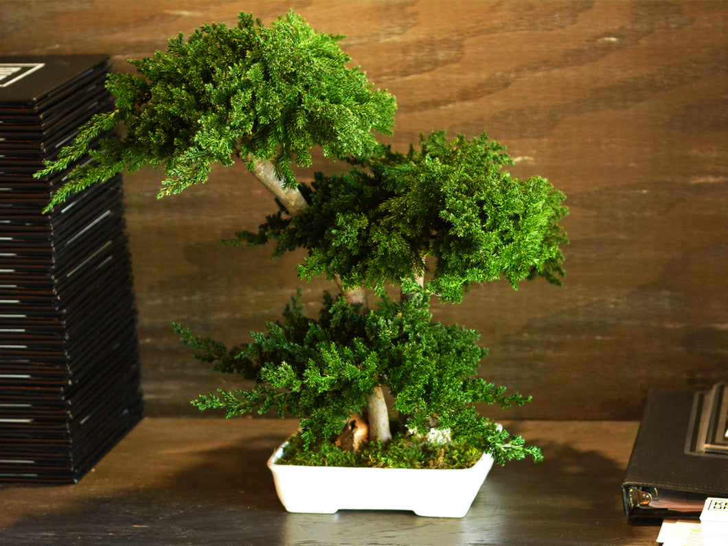 Bonsai Procumbens