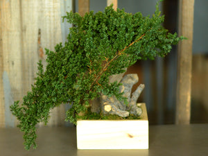 Bonsai Single Root