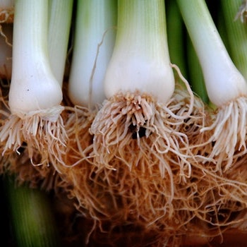 Re-Use and Re-Grow Green Onions!