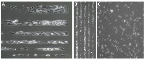 4dcell collaboration smooth muscle cells