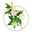 pure myrtle essential oil