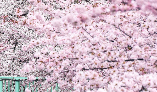 The Importance Of The Cherry Blossom in Japan.