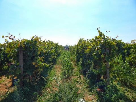 Biodynamic Vines