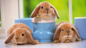 Necessary Products and Supplies for Pet Bunnies