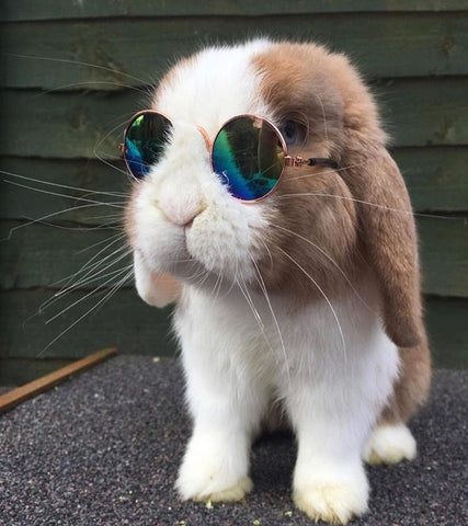 small sunglasses for rabbits or bunnies to wear from facebook or instagram - bunny supply co