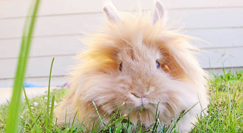 grooming information tips and advice for pet bunnies rabbits