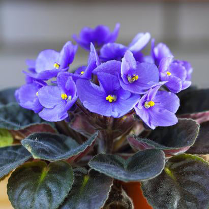 miniature African violets