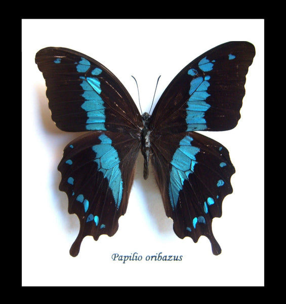 Small Single Butterfly - Papilio Orizabus