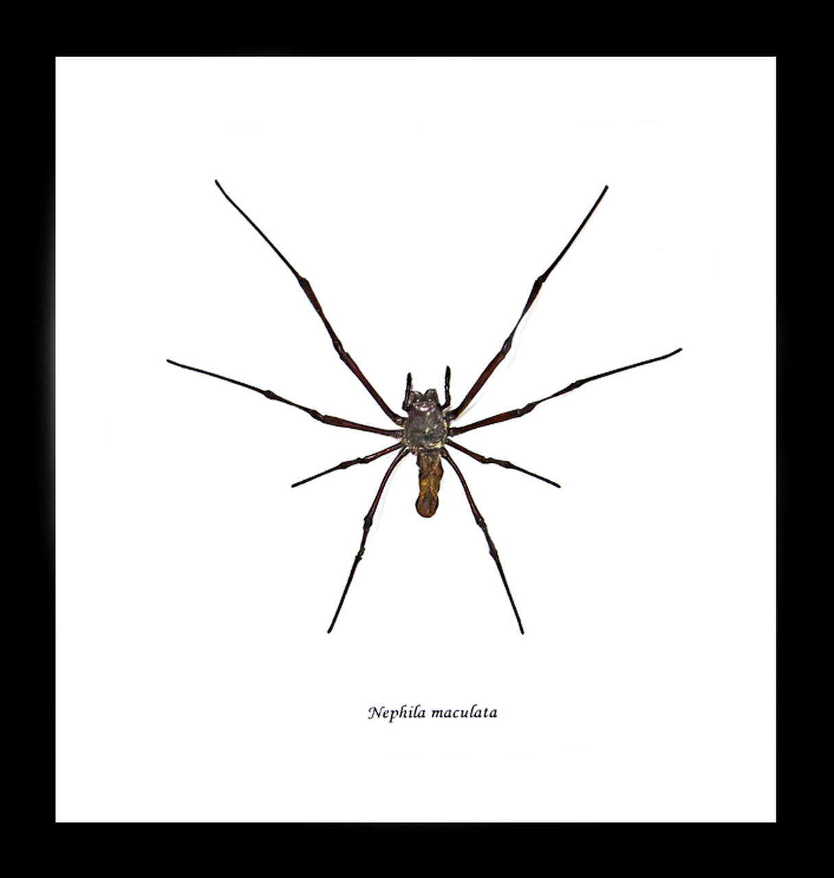 Small Single Bug - Nephila Spider