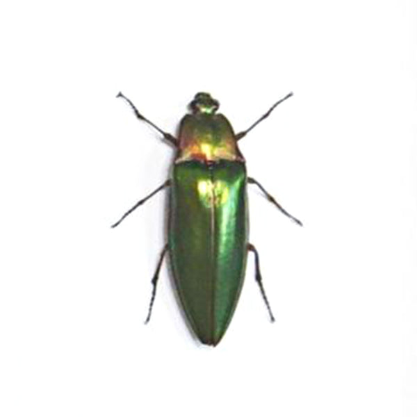Small Single Bug - Campostermus Auratus