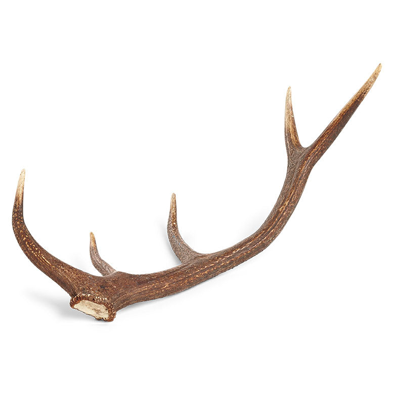 Austrian Horn Deer Natural