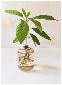 Handmade Ceramic DIY Avocado Plant Growing Kit