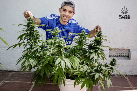 alt='' LST  low stress training marihuana ''