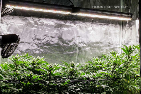 alt='' cultivo marihuana floracion indoor panel LED ''