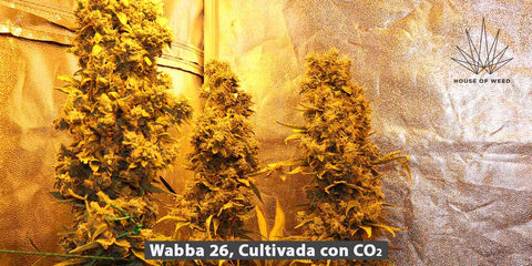 alt='' abono co2 cultivo cannabis interior indoor ''.jpg