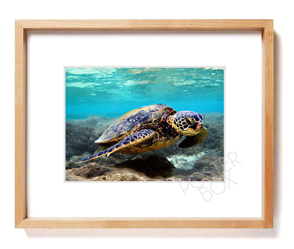 Hawaiian Green Sea Turtle (Honu) Matted Photo Print