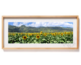 Sunflower Field in Waialua on Oahu's North Shore