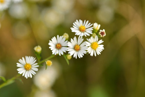 Chamomile Roman Essential Oil- 10% Dilution in Jojoba Oil